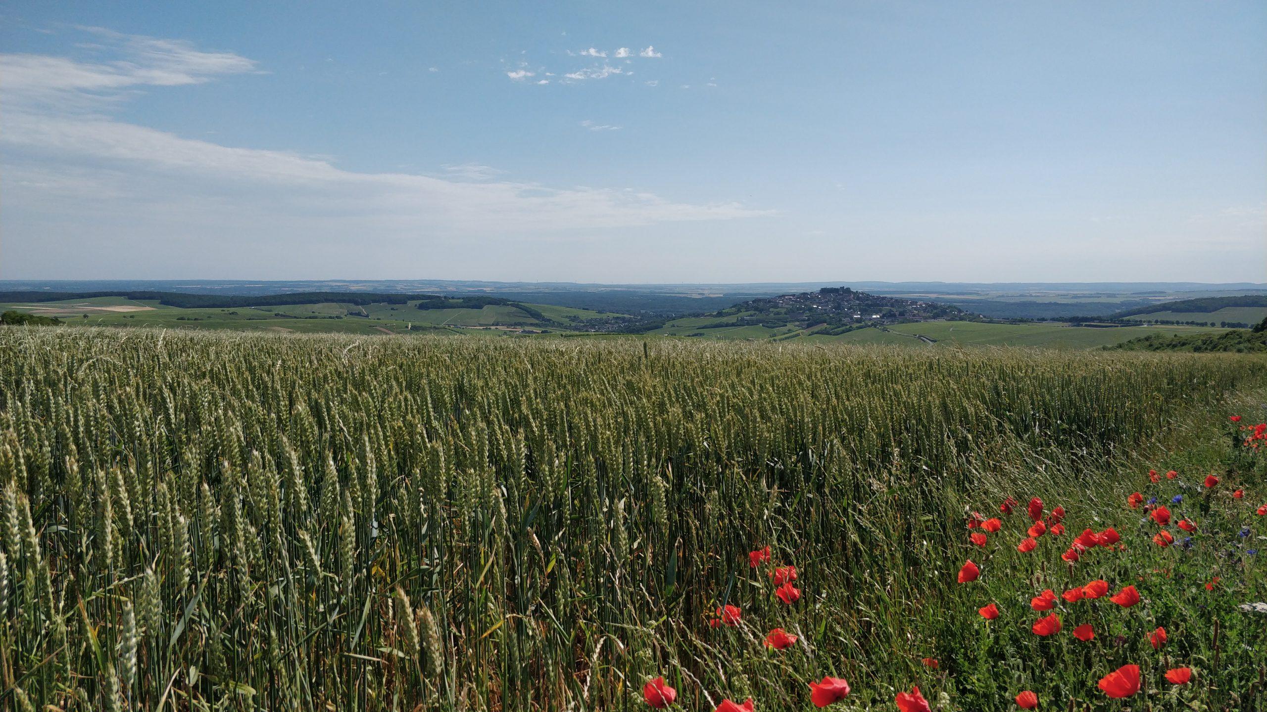 ciel bleu et champs de blé