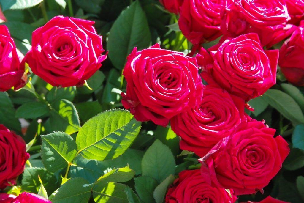les roses produisent peu de pollen