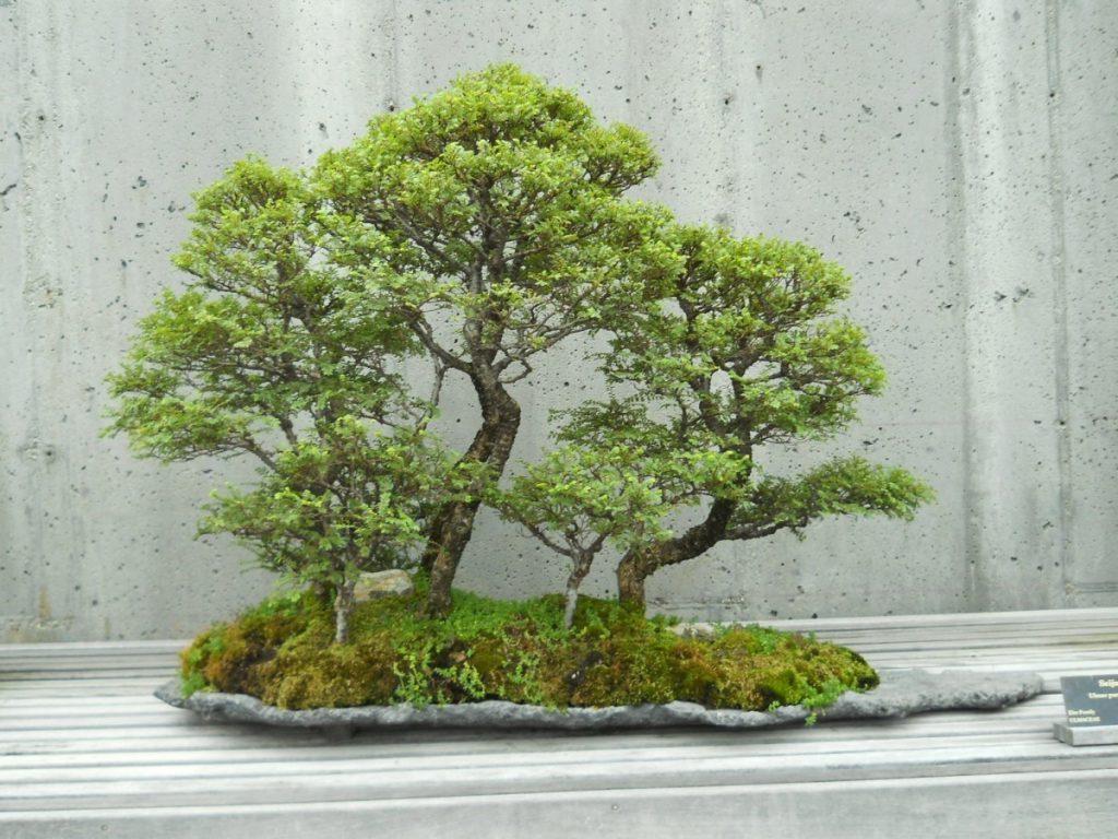 petit arbre bonsaï jardin japonais peu de pollen