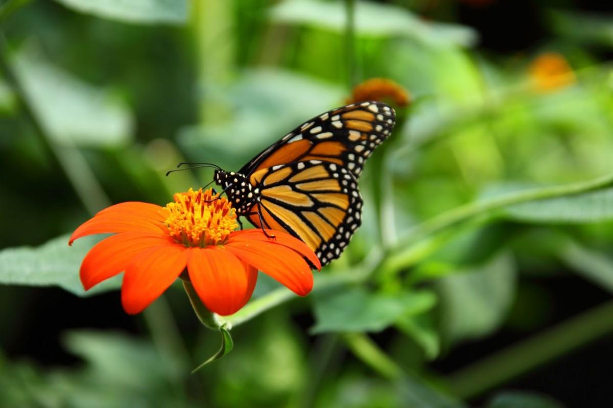 papillon monarque sur fleur orange pollen